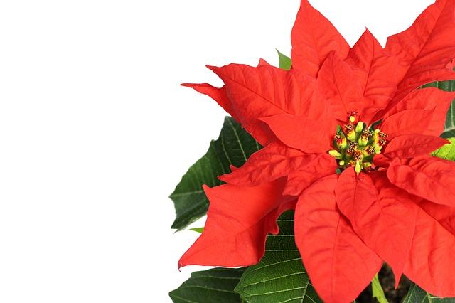 Pár tipov pre vašu vianočnú ružu